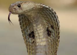indiai pápaszemes kobra